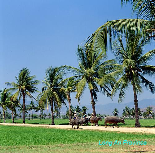 Paddy Field - Long An Province