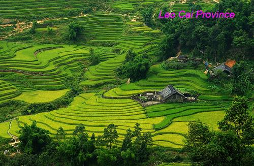 Terraced fields - Lao Cai Province