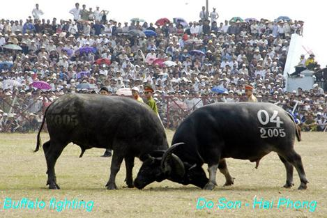 Buffalo Fighting - Do Son - Hai Phong City