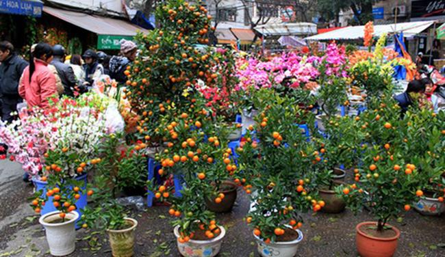 Kumquat tree, iconic Tet tree in Vietnam, which is believed to bring luck, prosperity and success to family's members.