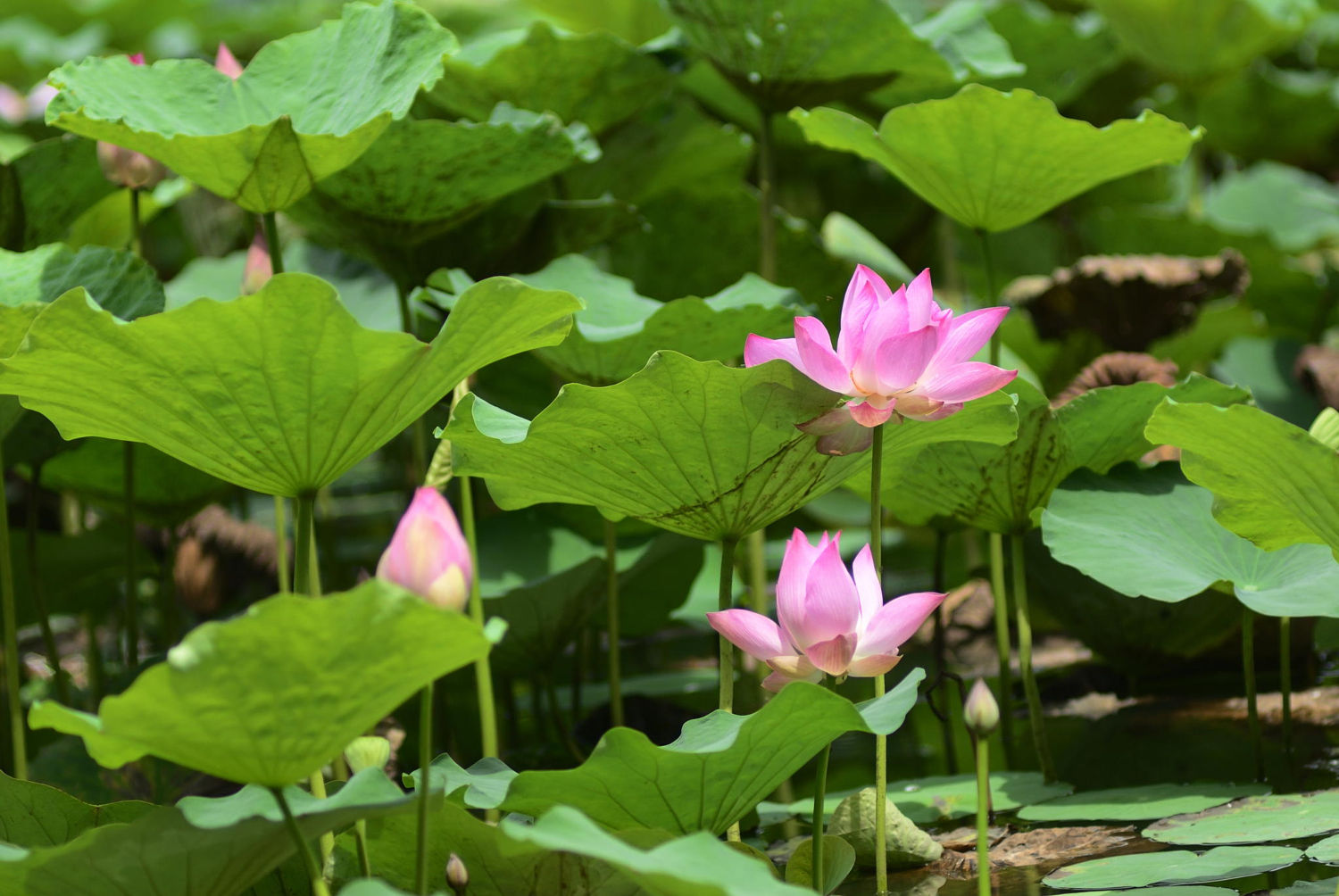 Discover hanoi seasonal flowers travel from half past four florists sail boats in the pond to pick up the most beautiful lotus flowers some of these flowers will be sold in the market izmirmasajfo